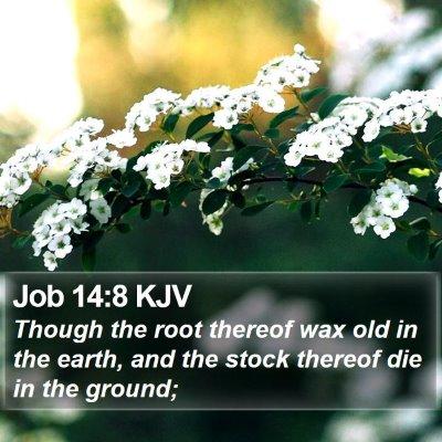 Job 14:8 KJV Bible Verse Image